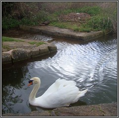 Lonely Cob (Margaret Edge the bee girl) Tags: white bird water animal swimming outdoors spring swan nest lock eggs cob countyside chesterfieldcanal turnerwood byewash