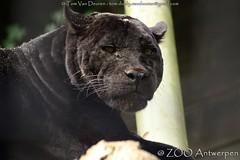 Jaguar - Panthera Onca (MrTDiddy) Tags: black female cat mammal zoo big kat feline bigcat antwerp jaguar zwart antwerpen zara zooantwerpen grote onca panthera zohra vrouwelijk zoogdier grotekat