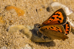 Small Copper 1 ( Lycaena phlaeas ) (waynedavey67) Tags: uk beach nature canon butterfly insect outside outdoors suffolk wildlife minsmere 6d rspb smallcopper 100mmf28 lycaenaphlaeas wildandfree