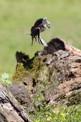 American kestrel - Oasi di Sant'Alessio  - Italia (carlo612001) Tags: bird birds fly flying wings wing raptor americankestrel kestrel falconry rapace gheppio oasidisantalessio falconeria gheppioamericano