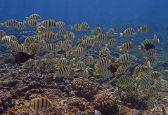 convict tang school (Skeptic14) Tags: bay diving maui snorkeling kapalua convict tang