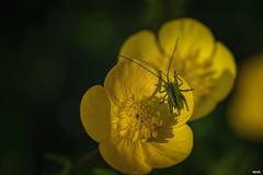 Grashpfer / Grasshopper (Katz-Ffm) Tags: flower nature yellow germany deutschland hessen blossom frankfurt gelb grasshopper blume makro tamron 90mm insekt nahaufnahme buschwindrschen grashpfer nikond5300