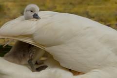 Mute Swan Cygnet (Cygnus olor) - West Vancouver, BC (bcbirdergirl) Tags: cute wings bc cygnet adorable cutiepie ambleside cygnets westvancouver muteswan cygnusolor hitchingaride ridingonback safeinmothersarms