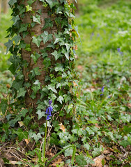 Lonely bell (philbluefish73) Tags: flowers tree nature bluebells forest spring ivy