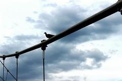 Dauntless (Nathalie_Dsire) Tags: bridge bird weather clouds germany stuttgart pigeon strong dauntless darkclouds fearless badenwuerttemberg stuttgartnord killesbergbrcke