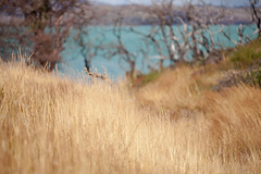 complementary colors (Matthew Almon Roth) Tags: macro grass canon torresdelpaine torresdelpainenationalpark lagopeho lodgepainegrande 5dmarkii