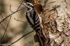 Will a square bird fit in a round hole? (rdroniuk) Tags: birds pics woodpeckers oiseaux smallbirds hairywoodpecker picoidesvillosus picchevelu passerines hairywoodpeckerfemale passereaux