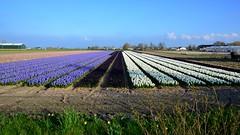Flower bulb fields (Michiel2005) Tags: holland netherlands field tulips nederland tulip veld bollen bollenveld bollenstreek flowerbulbfields flowerbulb