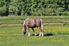 Pferd (mama knipst!) Tags: horse animal cheval cavallo pferd tier