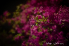 """""""Blushing""""... (RobynLeighImagery) Tags: flowers blushing"""