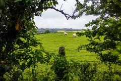Sheep at Old Sarum (cathamm1) Tags: nature animals