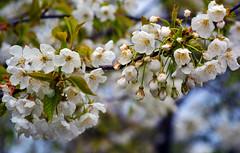 Spring Blossom, a new beginning (photobobuk - Robert Jones) Tags: park new uk england nature spring birmingham blossom country beginning sheldon