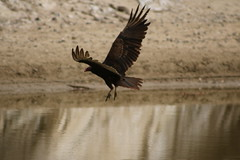 IMG_4570 (californiajbroad) Tags: bird nature turkey outdoors wildlife vulture