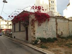 - Season of  the Bougainvillea (Crazy Athens) Tags: bougainvillea    springinathens