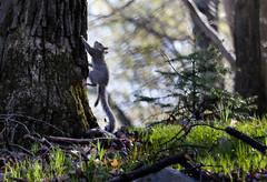 2016-04-24 17.09.08-7.jpg (michaelbbateman) Tags: wildlife squirel