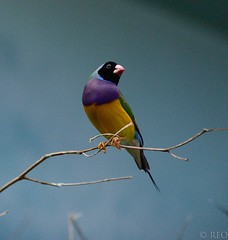 black headed purple breasted normal gouldian male (ronaldeorosz) Tags: black male purple normal headed breasted gouldian