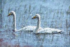 Pikkujoutsenia kaislikossa / Tundra Swans Among Reeds (Tuomo Lindfors) Tags: bird water suomi finland swan impression kuopio vesi lintu joutsen tundraswan topazlabs textureeffects pikkujoutsen