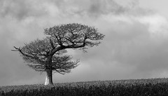 on ladle hill (amazingstoker) Tags: cloud white black tree monochrome grey branch noiretblanc walk branches ashley hill seed down hampshire rape oil lone warren hillside solitary wayfarers ladle watership burghclere