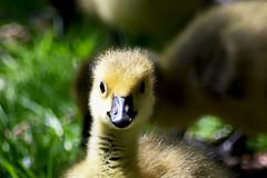 Gosling (Glenn Pye) Tags: bird nature birds geese nikon wildlife gosling canadiangeese d7200 nikond7200