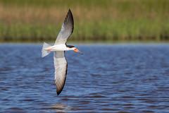Mime (gseloff) Tags: bird texas feeding bif blackskimmer tidalpond galvestonislandstatepark gseloff