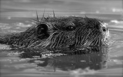 Pond Prowling (kpgoldman.nature) Tags: wild reed water oregon portland mammal rodent pond wildlife may nutria 2016 rhodo kengoldmanphotography