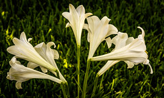 Lilies on the green (raylincoln1) Tags: flowers plants easter sony lilies a65