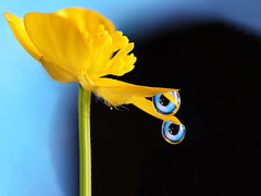 You're being watched !! (Lorraine1234) Tags: macro drops eyes buttercup refraction