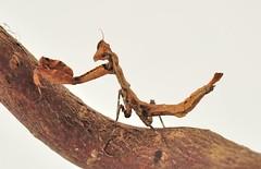 Epaphrodita musarum (Celimaniac) Tags: macro mantis insect prayingmantis mantide gottesanbeterin mantiden epaphroditamusarum niklond3s