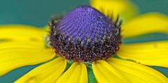 CAC039006a (jerryoldenettel) Tags: flower susan mo sunflower rudbeckia wildflower asteraceae blackeyedsusan 2016 rudbeckiahirta asterales asterids caneymountainca ozarkco