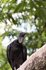 Black vulture (Find The Apex) Tags: bird animal animals wildlife disney disneyworld vulture wdw waltdisneyworld blackvulture coragypsatratus disneysanimalkingdom dak kilimanjarosafaris americanblackvulture