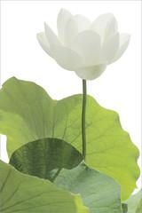White Lotus Flower and leaves on-white (Bahman Farzad) Tags: white flower leaves lotus onwhite