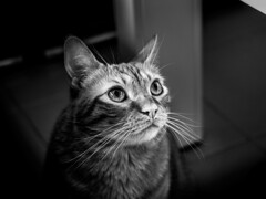... the Cat who wanted to be a Dragon!!! (Fede Falces ( ...... )) Tags: blackandwhite bw cute cat eyes dof noiretblanc bokeh olympus om