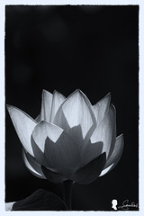 Lotus (Steven Weng) Tags: flowers canon lotus taiwan taipei   500mm  ef500  eos7d2