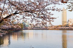 Seoul: Seokchon Lake (stuckinseoul) Tags: park city beautiful asian photo spring asia capital korea korean photograph seoul cherryblossom kr southkorea  lotteworld jamsil   seoulkorea republicofkorea songpagu canoneos6d flickrseoul seokchonlake sigma2470mmf28exdghsm songpanarupark iseoulu