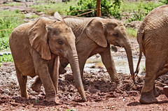 David Sheldrick Elephant Orphanage 12 (Grete Howard) Tags: safariinafrica safari whichsafaricompany bestsafaricompany calabashadventures travel holiday africa kenya elephants davidsheldrickwildlifetrust elephantorphanage wildelife animals nairobi