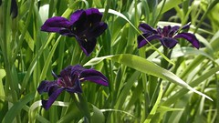 Iris black Gamecock (JANKUIT) Tags: uk unitedkingdom engeland england londen london iris black gamecock kewgarden kew garden