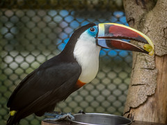 Red Billed Toucan (timslater61) Tags: toucan olympus em1 jupiter11 11
