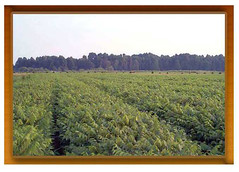 State Forest Tree Nursery (AccessDNR) Tags: centennial archive treenursery conservationhistory marylandforestservice
