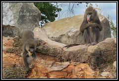 Hamadrya du Pal (Blondie @ girl) Tags: naturaleza france male nature animal canon zoo monkey mono google europe flickr natur baboon pal allier animaux arbre parc rocher auvergne flore singe faune ethiopie femelle babuino babouin scimmia mammifere somalie parcdattraction lepal espece parcanimalier hamadrya canonpowershotg12 erythee dieuthoth