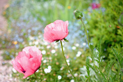 Pink Poppies (cuppyuppycake) Tags: pink flowers church nature nikon bokeh outdoor poppies wanstead d7200