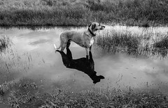 Underwater Path (neerod81) Tags: summer bw dog monochrome grass reflections underwater path textures hund sw highwater rocco wetter irritating schwarzweis