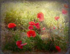 Wildflowers ... (MargoLuc) Tags: light red sunlight green texture nature backlight spring may meadow poppies wildflowers papaveri skeletalmess
