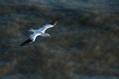 SJ7_7848 (glidergoth) Tags: birds coast flying yorkshire flight cliffs breeding colony seabird gannet morusbassanus rspb bemptoncliffs britishbirds
