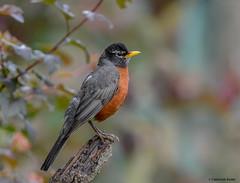 American Robin (Summerside90) Tags: birds birdwatcher americanrobin june spring backyard garden nature wildlife ontario canada