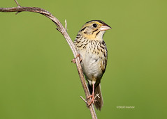 Henslow's sparrow -  Ammodramus henslowii (Stoil Ivanov) Tags: henslows sparrow ammodramus henslowii goose lake prairie state natural area ammodramushenslowii