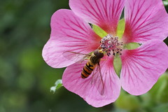 Diner time! (Wim van Bezouw) Tags: pink flower insect diner hoverfly zweefvlieg