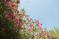 (Psinthos.Net) Tags: light summer sky sunlight nature leaves june countryside day branches blossoms bluesky valley oleander sunnyday pinkblossoms   pinkoleander             psinthosvalley