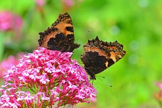 Small Tortoiseshell Butterflies ... Aglais urticae