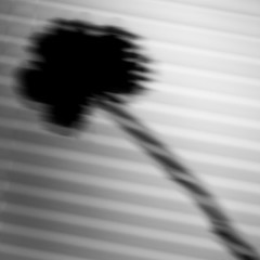 Unclear (vince_hamilton) Tags: blackandwhite bw abstract flower lines blinds 2016