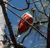 Elegant Trogon (Trogon elegans) (mesquakie8) Tags: arizona bird trogon adultmale 3908 cochisecounty eleganttrogon trogonelegans cavecreekcanyon eltr sittingonabranchafterflyingoutofanestinghole